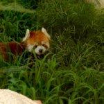 Kyoto Zoo Red Panda