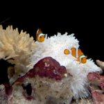 Clown Fish and Sea Anemone at Osaka Aquarium
