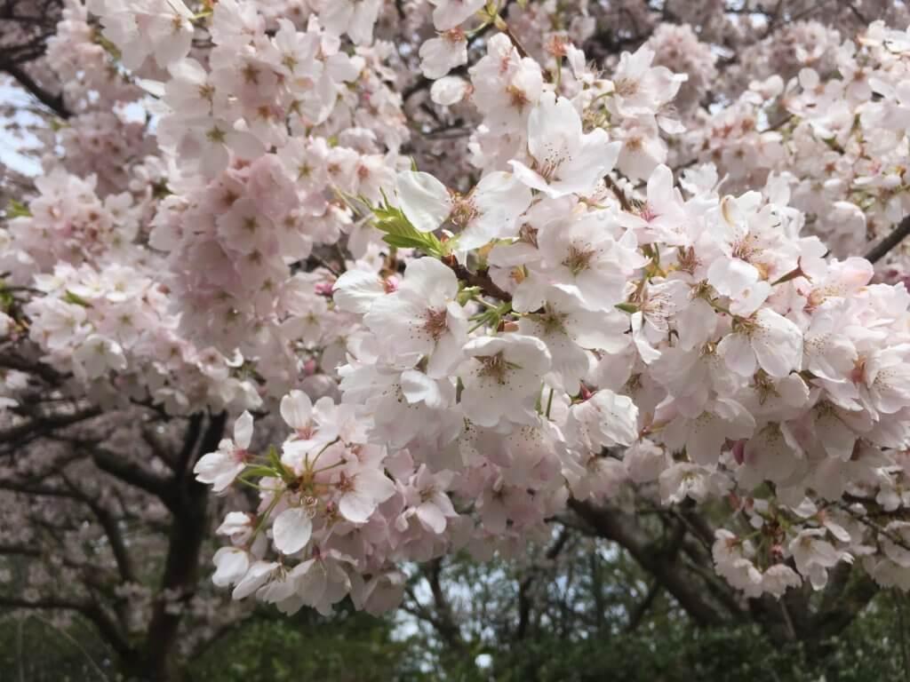 Sakura in Queen Elizabeth Park