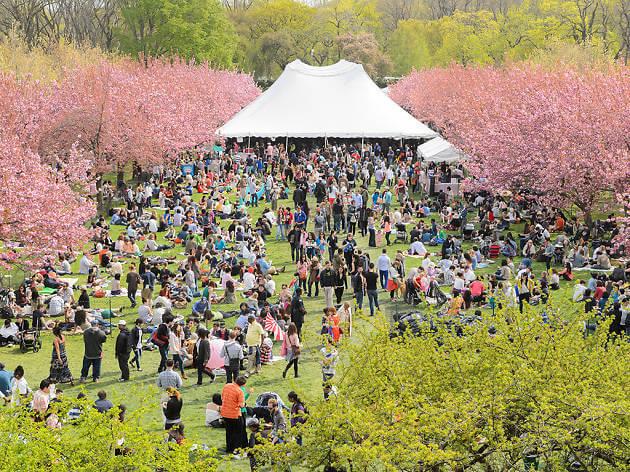 Overhead shot of the Sakura Matsuri in Brooklyn Botanical Garden.