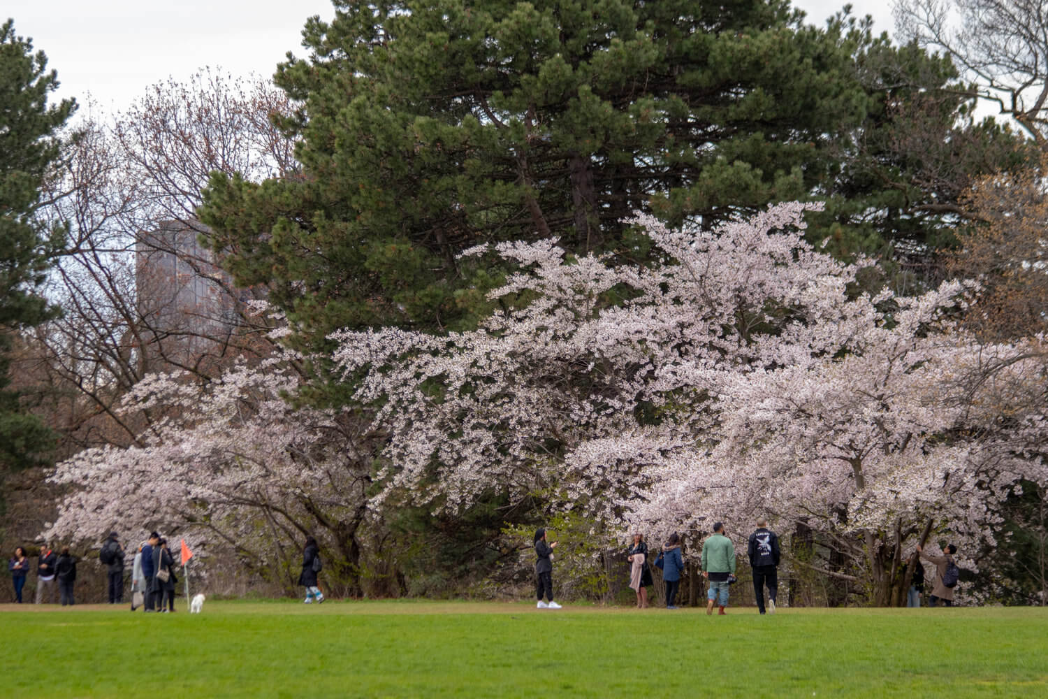 Sakura trees at High Park